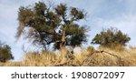 Oak Tree On A Grassy Hill In...
