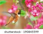 Rufous Hummingbird Feeding On...