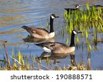 Canadian geese in swamp area