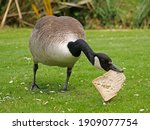 Canada Goose Eating A Slice Of...