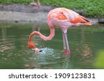A Pink Flamingo Fishes In A...