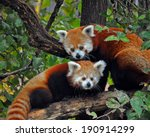 A Red Panda Mother And Cub At...
