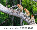 Family Of Proboscis Monkeys In...
