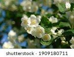 White Flowers Of Sweet Mock...