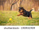 Stock photo rottweiler puppy playing with a toy 190931909