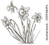 Daffodil Flower Or Narcissus...