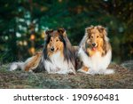 Two Rough Collies Lying In The...