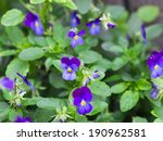Beautiful Wild Violets