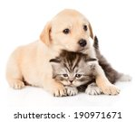 Stock photo golden retriever puppy dog and british cat together isolated on white background 190971671