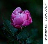 Rose Dark With Pink Petals...