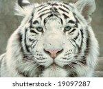 white tiger full face portrait | Shutterstock . vector #19097287