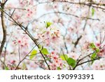 Beautiful pink cherry blossom (Sakura) flower  - stock photo