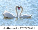 The Couple Of Swans With Their...