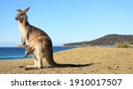 Kangaroo With Baby In Pouch...