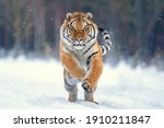 Jumping Tiger On The Snow