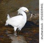 Snowy Egret Catches A Shrimp...