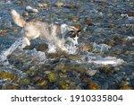 Husky Dog Catching Pink Salmon  ...