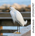 Snowy Egret Surveying The River ...