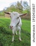 White Goat Outdoors  Farm...