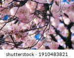 Cherry Blossoms Tree During...