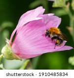 Macro Of A Common Carder Bee On ...