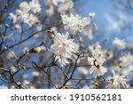 White Beautiful Large Flowers...