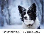 Border Collie Dog Love Being...