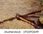 bull kelp   nereocystis... | Shutterstock . vector #191092649