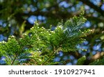 Close Up Of Foliage Evergreen...