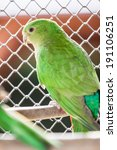Small photo of Portrait of The Australian King Parrot aka muaiz or Alisterus scapularis