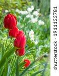 Tulips  Tulipa  And Daffodil...