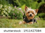 Yorkshire Terrier Puppy Sitting ...