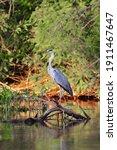 Grey Heron At The Danube Delta