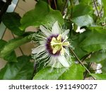 Passion Fruit Flowers Are...