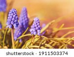 Grape Hyacinth. Flowers Muscari....