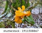 Fungus Tremella Mesenterica Has ...