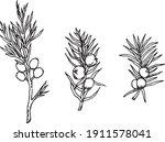 juniper berries hand drawn... | Shutterstock .eps vector #1911578041