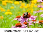 Echinacea  Coneflowers  And...