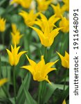 Small photo of Yellow lily-flowered tulips (Tulipa) Flashback bloom in a garden in April