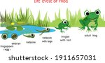 frog life cycle. sequence of... | Shutterstock .eps vector #1911657031