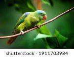 Blue Naped Parrot  Tanygnathus...