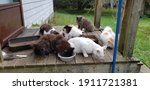Feral Cats Gathering On The...