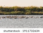 Group Of Pelicans Swims On A...