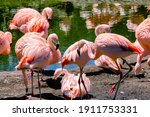 Group Of Chilean Flamingos ...