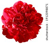 Red  peony flower on white...