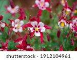 Aquilegia Caerulea Red White...