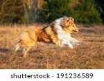 Rough Collie Running At The...
