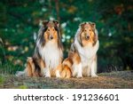 Two Rough Collies Sitting In...