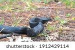 Eastern Indigo Snake ...