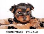 yorkshire terrier | Shutterstock . vector #1912560